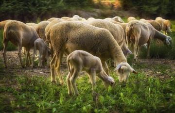 Gestione dell'attività riproduttiva e problematiche di infertilità negli ovini e caprini